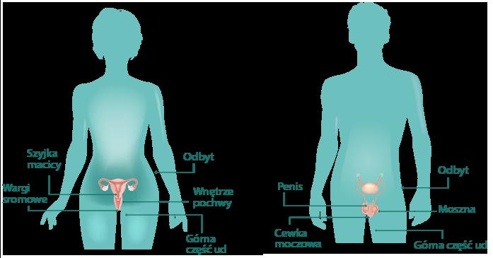 Grafika przedstawiająca miejsca występowania brodawek wenerycznych u kobiet i mężczyzn